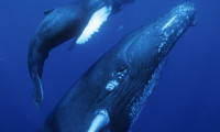 Dolphins and Whales 3D: Tribes of the Ocean Movie Still 8