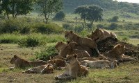 African Cats Movie Still 8